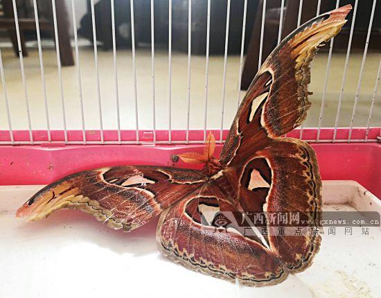 罕见蛇头蛾现身贺州 目击者还以为是毒蛇(图)